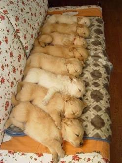 : Puppies, Animals, Sweet, Dogs, Golden Retrievers, Pets, Puppys, Adorable