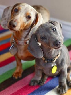 See more 5 Puppies looking super sweet: Animals, Dogs, Dapple Dachshund, Pet, Doxies, Puppy