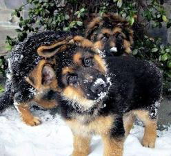 snow and German shepherds. Its like a dream come true: Animals, German Shepards, Shepherd Puppies, Puppys, Germanshepherds, German Shepherds, Shepherd Dogs, Gsd