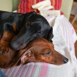 Snuggle bunny wiener dogs!: Daschund, Sweet, Doxie S, As, Doxies, Wiener Dogs