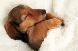 snuggled up doxie.: Animals, 3/4 Beds, Dogs, Dachshund, Pet, Doxie, Puppy, Sweet Dream