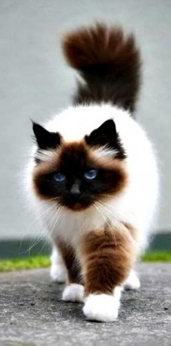 so pretty...... Himalayan cat - Himalayan cats are the result of crossbreeding Siamese with Persian cats.: Ragdoll Cat, Kitty Cats, Beautiful Cats, Birman Cat, Pretty Cat, Siamese Cat, Himalayan Cat, Animal