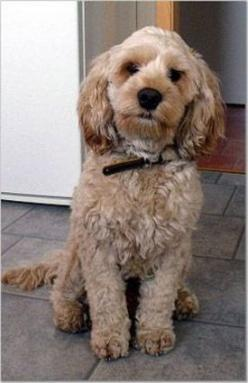 Spoodle or Cockapoo~ Cocker Spaniel & a miniature Poodle: Animals, Dogs, Cocker Spaniel, Pet, Google Search, Cockapoo Grooming, Cockapoo S, Cockapoos, Cockapoo Haircuts