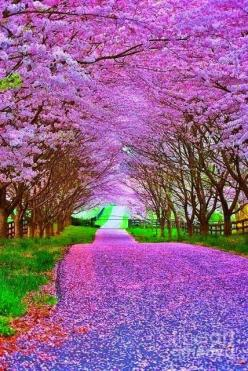 Spring Landscapes: Picture, Purple, Nature, Beautiful, Trees, Road, Places, Flower