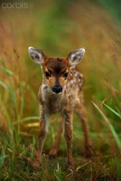 sweet fawn...wonderful things happening here in Twitter FOREST!!: Baby Deer, Fawns, Sweet, Baby Animals, Cute Babies, Newborn