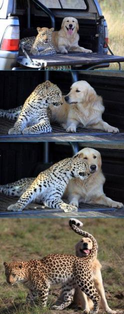 The 10 Most Adorable Animal Friendships. These are cute!  Totally not buying the kitty and parakeet. That bird's going down one day! And OMG wombats are UGLY!: Wild Cat, Animal Friendship, Big Cats, Best Friends, Golden Retrievers, Friends Forever, Bf