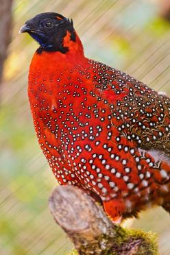 This is a Satyr Tragopan, small bird living in the Himalaya, here taken at the zoo of Zürich.: Crimson Horned, Tragopan Himalayas, Tragopan Bird, Birds, Horned Pheasant