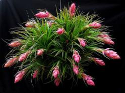 Tillandsia stricta: Grow Houseplants, Succulants Airplants, Air Plants, Gardening, Photo, Flower, Airplants Bromeliads Orchids, Stricta Airplants