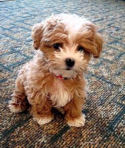 Top 5 Dog breeds that don't Shed: Cute Puppies And Dogs, Cute Dogs And Puppies, Furry Dog, Cavapoo Puppies, Teddy Bear Dog, Cavapoo Puppy, Dog Breeds, Animal