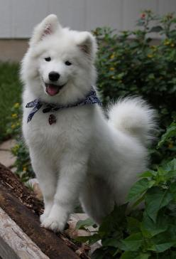 undeniable proof samoyed are irresistible. They look really fetch. www.buzzfeed.com: Cutest Puppy, Animals, Irresistible Dogs, Pet, Samoyed Dogs, Community Post, Fluffy Puppy