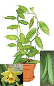 Variegated Vanilla $17.95 | Grow your own vanilla beans and enjoy the variegated foliage for a spectacular ornamental display. This member of the orchid family produces a bean that, when cured, reveals the delicious flavoring so coveted by bakers.: Growin