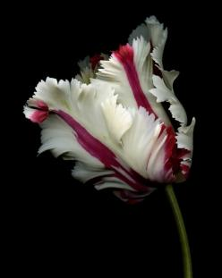 WHITE & RED PARROT TULIP: Parrot Tulips, Nature, Parrots, Flora, Beautiful Flowers, Bloom, Flowers, Garden