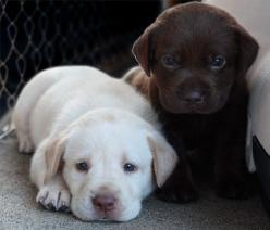 White and choclate lab puppies. Oh my, absolutely adorable!: Labs, Animals, Dogs, Pet, Puppys, Lab Puppies, Baby, Labrador
