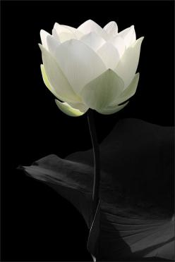 White Lotus Flower - ©Bahman Farzad / lotusflowerimages.com - www.flickr.com/photos/21644167@N04/6208603709/in/photostream: White Lotus, White Flowers, Lotus Flowers, Art, Black White, Beautiful Flowers, Beauty, Garden, Photography