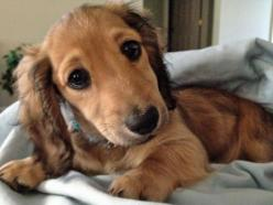 Winnie the Dachshund-OMG! Those Eyes just made my heart melt into a puddle! What a cute baby!: Puppies, Animals, Dogs, Sweet, Puppys, Doxies, Adorable, Friend