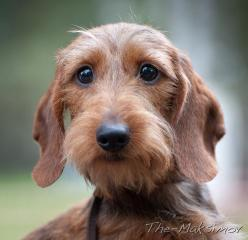 wire haired dachshund --what a gorgeous little creature with soulful eyes! All they want is bacon... :): Wire Doxies, Sweet Wirehaired, Dachshund Wirehaired, Dachshund Wire Haired, Wire Hair Dachshund, Wire Haired Dachshund Puppy, Wirehaired Dachshund Pup
