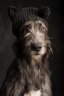I've always mocked those that put clothes on their dogs but........yea, this is stinkin' CUTE!: Doggie, Dogs, Irish Wolfhounds, Pet, Wolf Hound, Puppy, Irishwolfhound, Animal