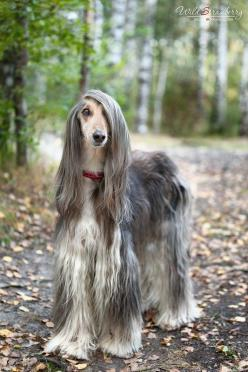 I've always wanted one since I was a little girl. Now, as an adult, all I see is extra cleaning but still very beautiful.: Afghans, Animals, Pets, Hair, Beautiful Dogs, Dog Breeds