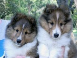 Show/breeding dogs for sale: Sheltie Puppies For Sale, Shelties For Sale, Shelties Puppies For Sale, Blue Merle Shelties, Beautiful Sheltie, Blue Merle Sheltie Puppy, Blue Merle Puppies, Animal, Blue Merle Collie