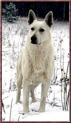 White German Shepherd... reminds me of Shasta, I had one for a few months before my parents gave her away to friends of theirs.