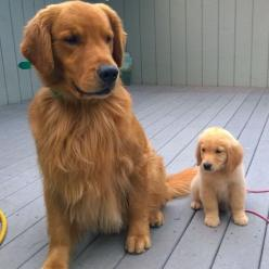 """""Here is a photo of Goose the Golden Retriever puppy and his grandpa, Willis. Goose hopes to grow up big and beautiful just like his grandpa. You can…"""