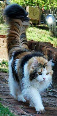 "* * "" Hows kin me support dat ""Walk Tall & Strong' statement whens me looks like dis? It woulds sound awful stoopid ' 'Walk Tall And Fluffy' !"": Cats Cats, Cat Tail, Beautiful Cats, Kitty Kitty, Maine Coon Cat, Cats Kittens"