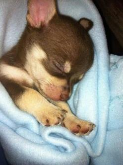 5 Longest living dog breeds - Chihuahuas, like this sleepyhead, are included!!
