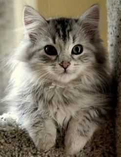 A beautiful, snuggly Siberian cat... You will be my kitty baby someday!: Beautiful Cat, Kitty Cat, Kitty Kitty, Pretty Kitty, Adorable Animal, Kittycat