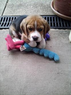 Adorable beagle puppy.: Beagle Puppy, Animals, Sweet, Dogs, Beagle Puppies, Pet, Puppys, Beagles, Baby