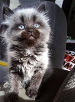 And this insanely adorable little werewolf kitten. | 39 Photos For Anyone Who's Just Having A Bad Day: Kitty Cats, Cute Cats, Pet, Blue Eyes, Adorable Kitten, Baby, Animals Cats, Cats Kittens