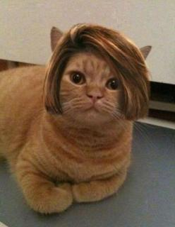 Bob Cat. I don't know why this is funny, but I can't stop laughing.: Cats, Bobcat, Bobs, Funny, Hair, Animal