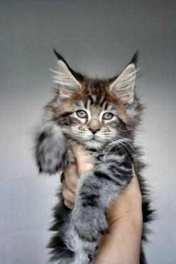 GORgeous cat                                                                                   tumblr: SABON: Maine Coons, Main Coon Cat, Coon Kitty, Maine Coon Kittens, Baby, Maine Coon Cats Kittens, Mainecoon, Animal
