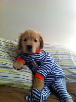 I'm almost 26 years old. How have I not seen a puppy in pajamas before?!?!: Animals, Dogs, Golden Retrievers, Pet, Puppys, Pjs, Adorable, Baby