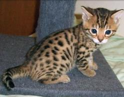 I want to raise baby tigers at some point. But if that doesn't happen I'll settle for a bengal cat.
