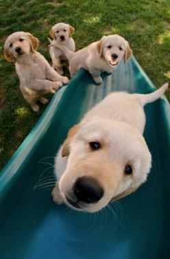 It's my turn, please and thank you!: Animals, Dogs, Golden Retrievers, Pet, Puppys, Labrador, Friend, Golden Retriever Puppies, Golden Retriever