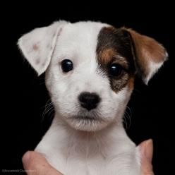 Just who could resist the face of this little Jack Russell Terrier?: Jack Russells, Jack Russell Puppies, Animals, Sweet, Dogs, Pet, Jack Russell Terriers, Jack O'Connell, Puppy