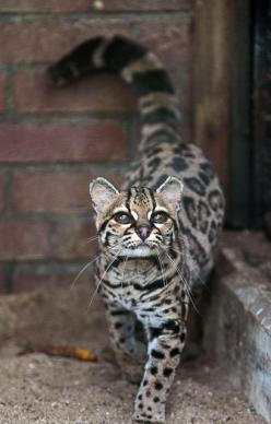 Margay cat, very rare, often confused with ocelot.  ---this is the only cat whose hind legs rotate 180 degrees, allowing them to run headfirst down trees.- whoa that''s crazy!: Cats, Big Cat, Beautiful Cat, Margay Cat, Degrees Allowing, Legs Rotat