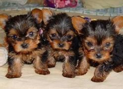 pictures baby yorkies - Google Search: Animals, Pictures Baby, Pets, Baby Yorkies, Puppys, Dogs ️, Little Dogs, Eye