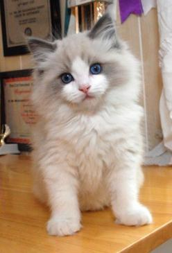Ragdoll kitten. Relaxed and floppy when picked up. Gentle and affectionate. This is what I want: Animals, Ragdoll Cats, Kitty Cat, Pet, Blue Eyes, Rag Doll, Kittens