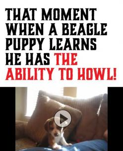 Reminds me of my Pepper girl. She is a Beagle/Amer hound dog mix and has such a big howl for a little dog.