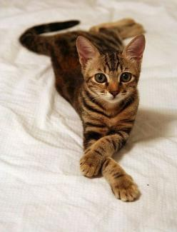 """Saw one of these on a mans shoulder in a harness and I asked him why? And he said """"She loves walks"""" love it!: Beautiful Cat, Kitty Cats, Animals, Bengal Cat, Pets, Kitty Kitty, Kittens, Feline, Cat Lady"""
