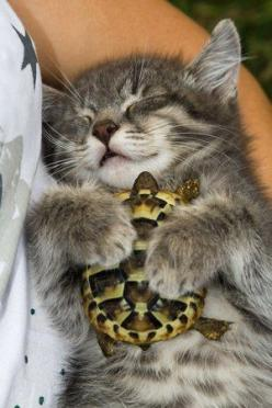 The kitten who fell in love with a turtle. Animals adopt other animals, outside their species, they love and become best friends. Inseparable.: Cats, Pet Turtle, Animal Friendship, Animals, Tortoise, Turtle Friend, Turtles, Kittens, Kitty