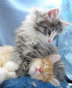 This adorable kitten pic is the best part of my day, so far ... Yay Kittens!!: Cats, Happy Kitty, Animals, Cat Nap, Chat, Kittens, Smile, Sweet Dreams, Night Night Sweet Dream