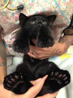 This beautiful kitty with giant toes and feet was taken in by Panda Paws Rescue. This is her being held by the veterinary staff, showing off her big feet and many toes.: Big Feet, Kitty Cat, Animals, Black Cats, Pet, Kitty Kitty, Toes, Blackcats