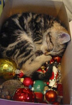 Tired of Decorating  We had a cat once named Crackers who loved it when we took out all the ornaments for decorating. he would lie on the tissue paper and curl up in boxes like this. He looked a lot like this cat in the picture. My sweet Crackers, RIP.