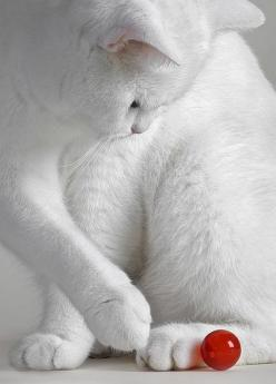 white kitty :: red marble :: play: Cats Cats, Beautiful Cat, Kitty Cat, White Cats, Red Ball, Red White, Kittycat