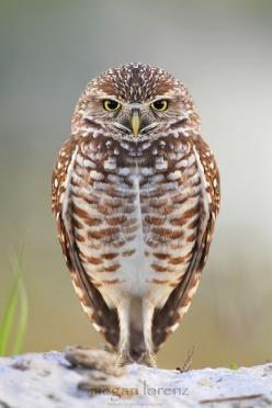 """Peeved "" by Megan Lorenz  Burrowing Owl.  Cape Coral, Florida: Birds Owls, Burrowing Owls, Photo, Megan Lorenz, Animal"