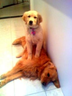 """What? I'm comfy.""      Golden puppy.: Picture, Animals, Dogs, Golden Retrievers, Pet, Funny, Puppy, He S Comfy, Baby"