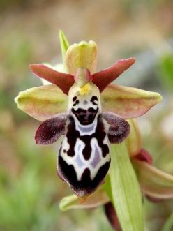 'Orchid-Mimicry': Flower of Ophrys ariadnae [Bee-Orchid] ..... Mimicking a Circus Clown with a Pot-belly - Flickr - Photo Sharing!: Amazing Flowers, Orchid Mimicry, Mimicry Flower, Orchids, Ophrys Ariadnae, Ariadnae Bee, Photo