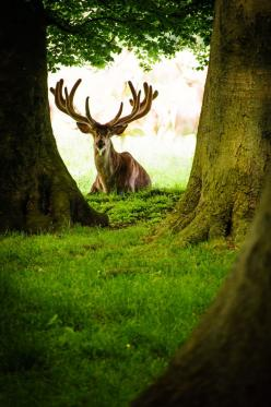 """.A deer bull sitting between the trees and thiking """"who is that funny guy with the camera?"""": Forests, Enchanted Forest, Deers Animals, Deer Elk, Funny Guy, Magical View, Red Stag, Deer Bull"""